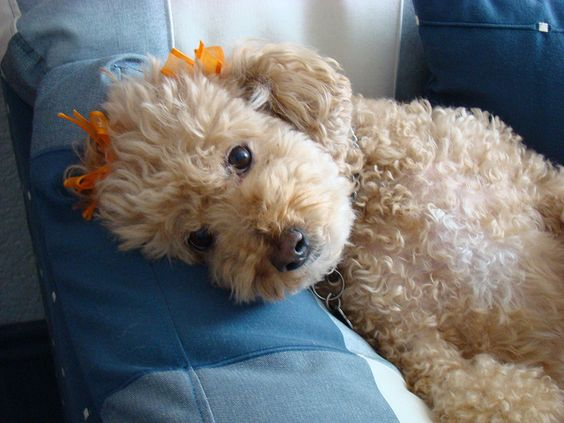 poodle dog picture
