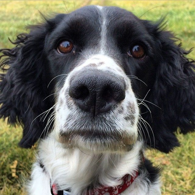 18 things all springer spaniel owners must never forget