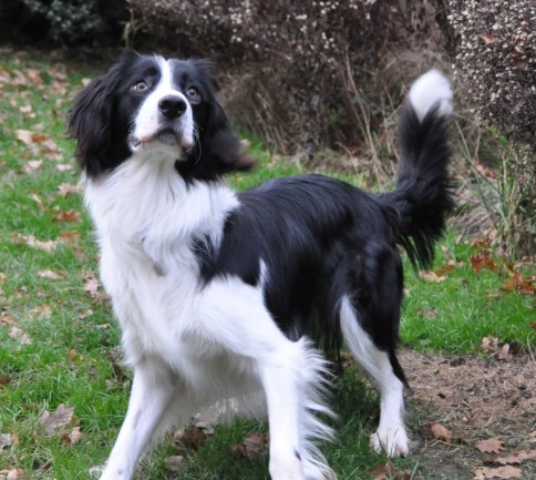 10 Unreal Springer Spaniel Cross Breeds You Have To See To Believe