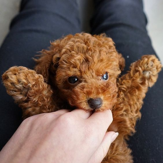 Poodle cute puppy