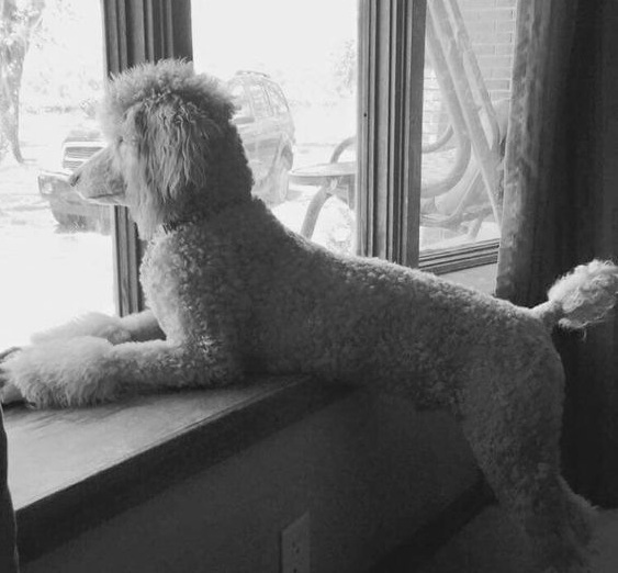Poodle watching window