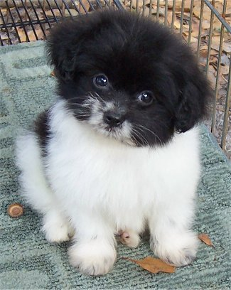 Unreal Pomeranian Cross Breeds You Have To See To Believe