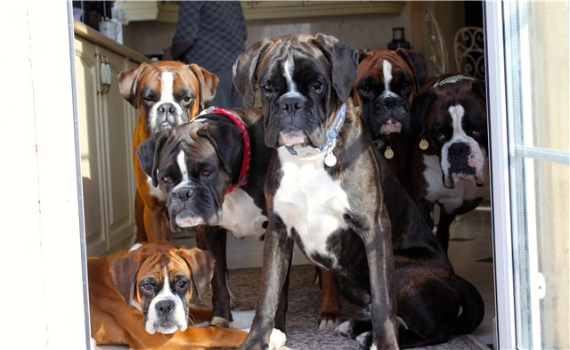beautiful boxer dogs watching you pets