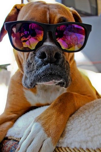 boxer dog glasses photo pics