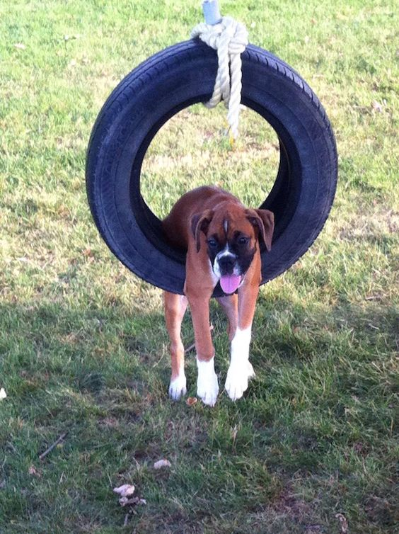 boxer dog photo funny wheel pics