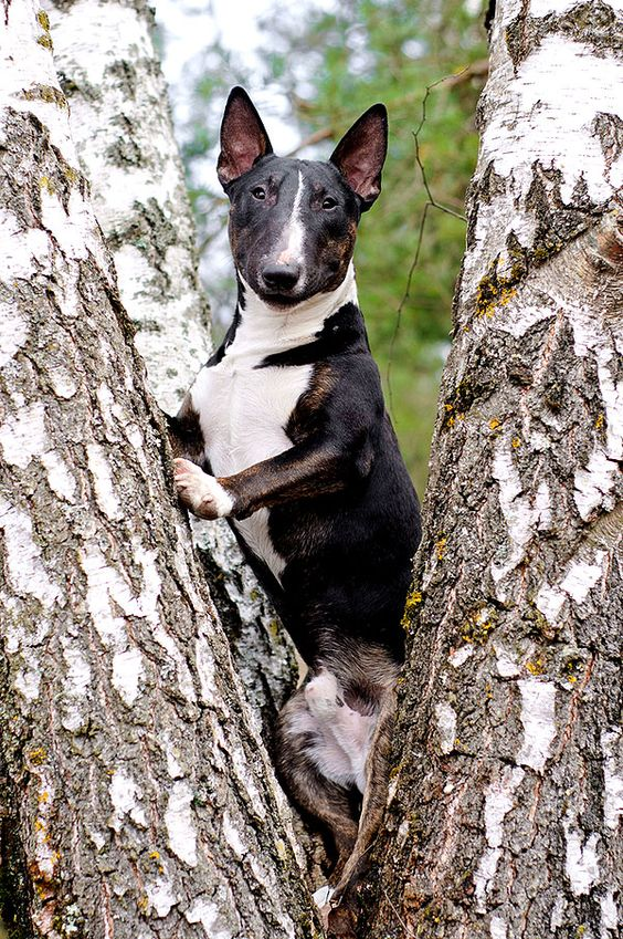bull terrier birches climbing trees
