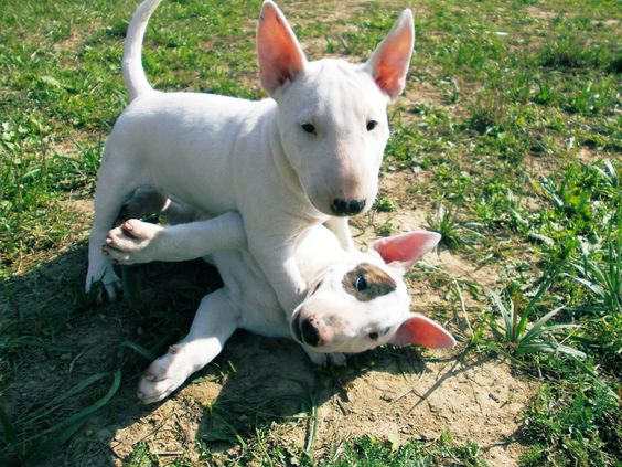 bull terrier puppies playing