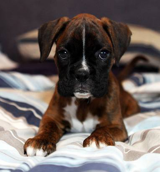 cute boxer puppy watching pics