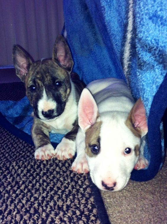 cute puppies english bull terriers photo