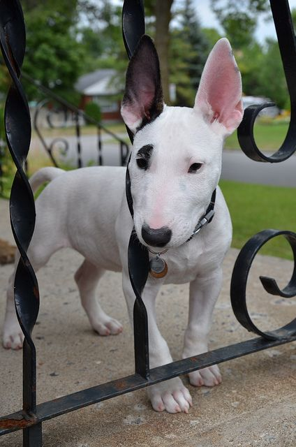 english bull terrier fence cute pup