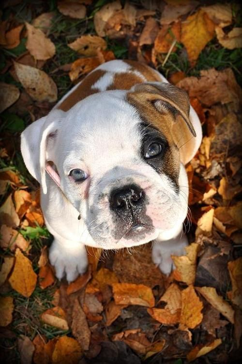 english bulldog fall
