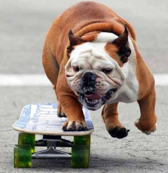 english bulldog skateboarding