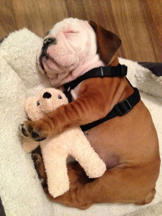 english bulldog sleep with toy