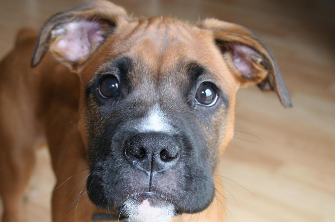 funny-boxer dog eyes