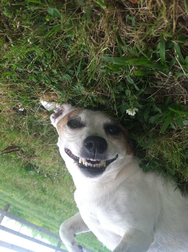 funny smile dog grass