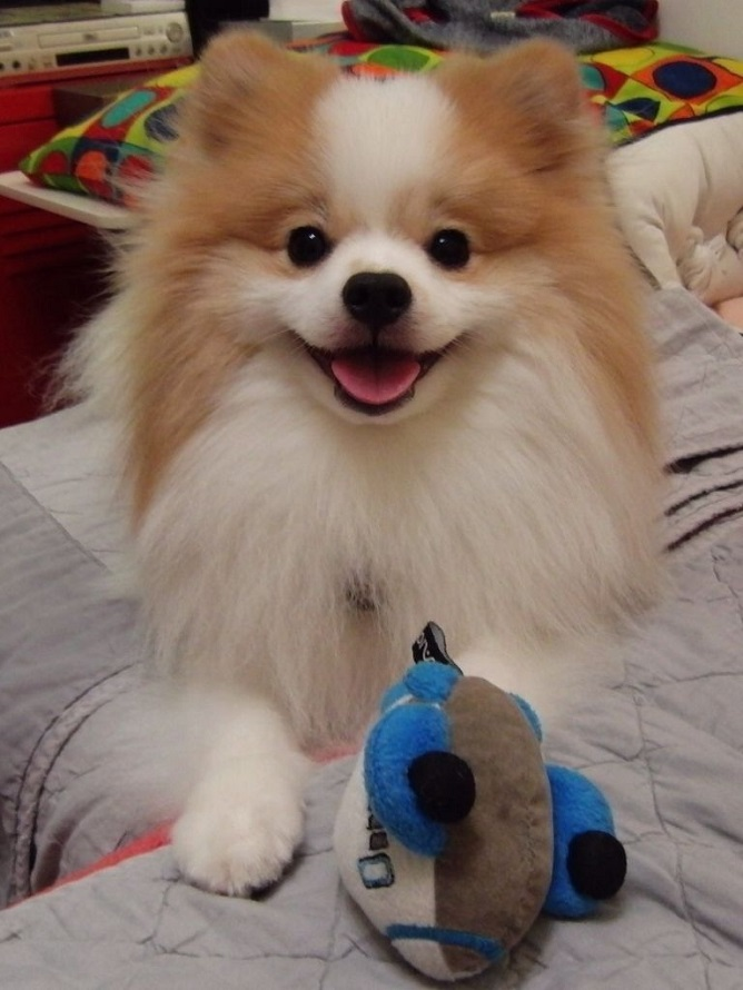 pomeranian dog smile