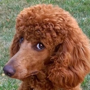 Poodles are the most intelligent Dogs in the world. Please Read and watch.