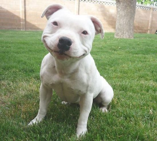 positive pit bull face smiling