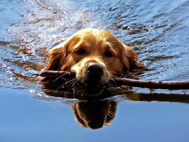 top 10 things golden retrievers don t like. Black Bedroom Furniture Sets. Home Design Ideas