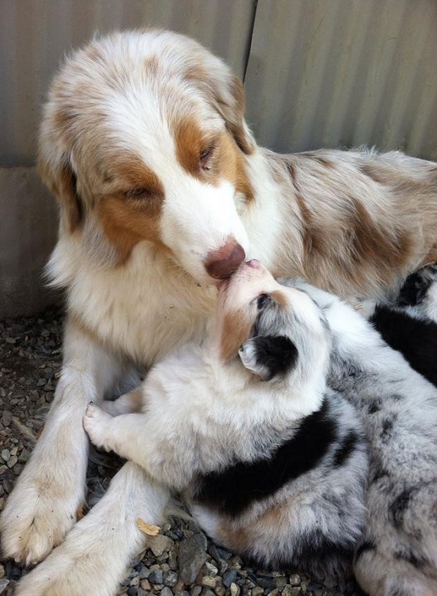Can You Breed A Mother Dog With Her Son