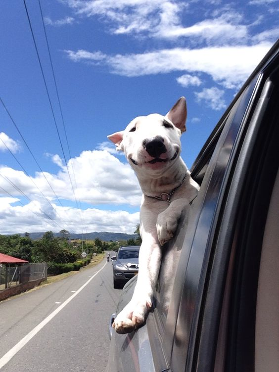 English Bull Terrier road trip