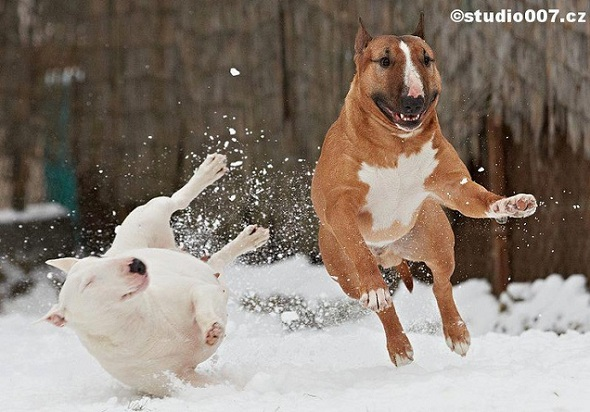 English Bull Terriers snow