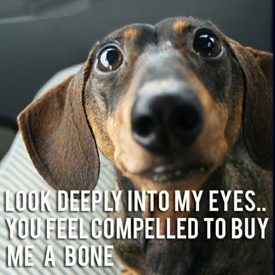dachshund eyes deep bone meme 12 best dachshund memes of all time,Dachshund Meme