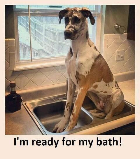funny bathtime great dane 12 best great dane memes of all time