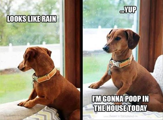 funny dachshund meme photo 12 best dachshund memes of all time,Dachshund Meme