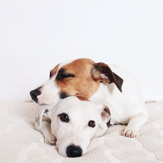 jack russells sleep on bed pics