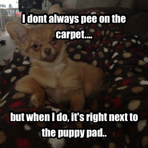 12 Best Chihuahua Memes of All Time