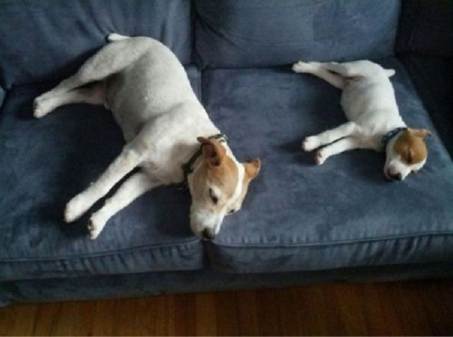 sleep two jack russells