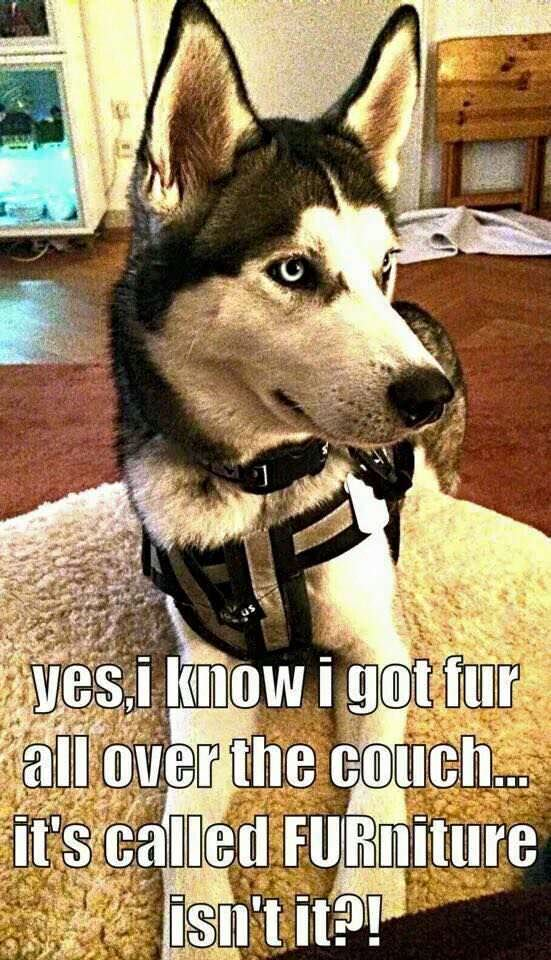 Funny Husky Jokes Meme : Funny husky meme pixshark images galleries