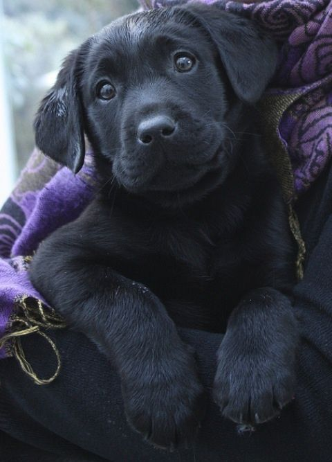 black labrador puppy face eyes pics