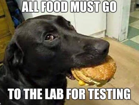 funny black labrador food