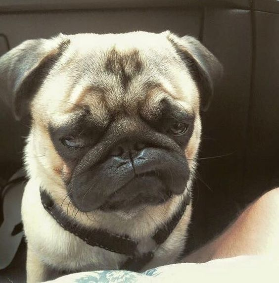 Funny Rolling Eyes Meme : Pictures of cute pugs and the faces they make