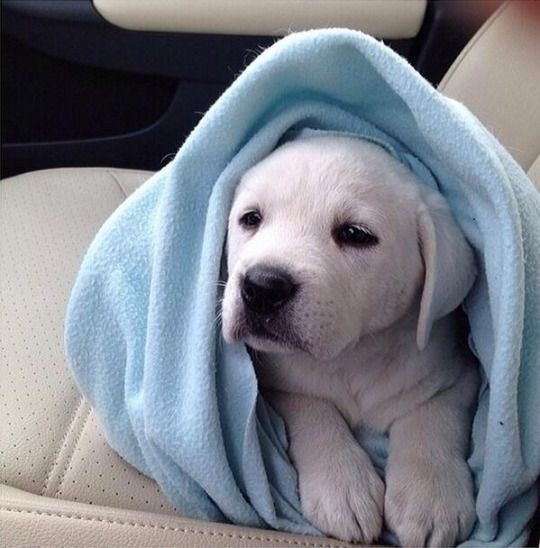 white labrador puppy dog