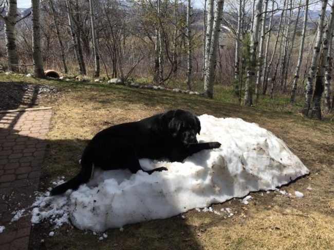 black labrador white snow