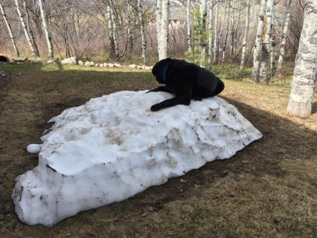 labrador snow black dog