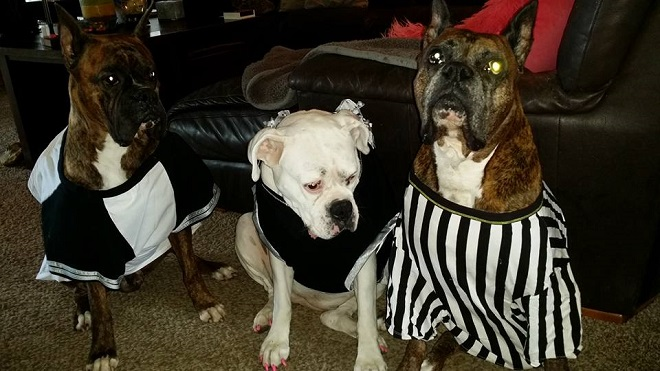 both-teams-referee-boxer-dogs