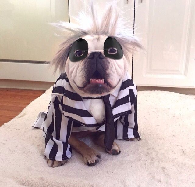 english-bulldog-halloween-beetlejuice