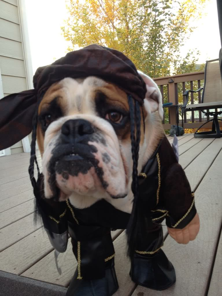 english-bulldog-halloween-pirate-dress