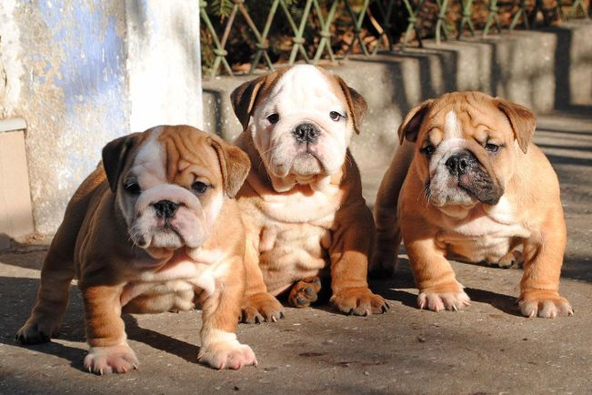 english-bulldog-puppies