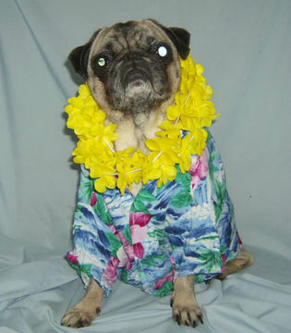 hawaiian-shirt-pug