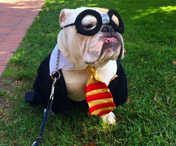 potter-english-bulldog-halloween