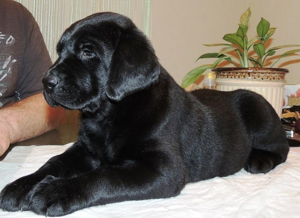 black-lab-puppy