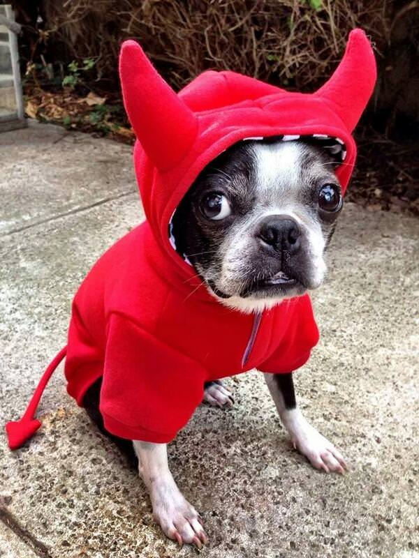 boston-terrier-halloween-costume-devil