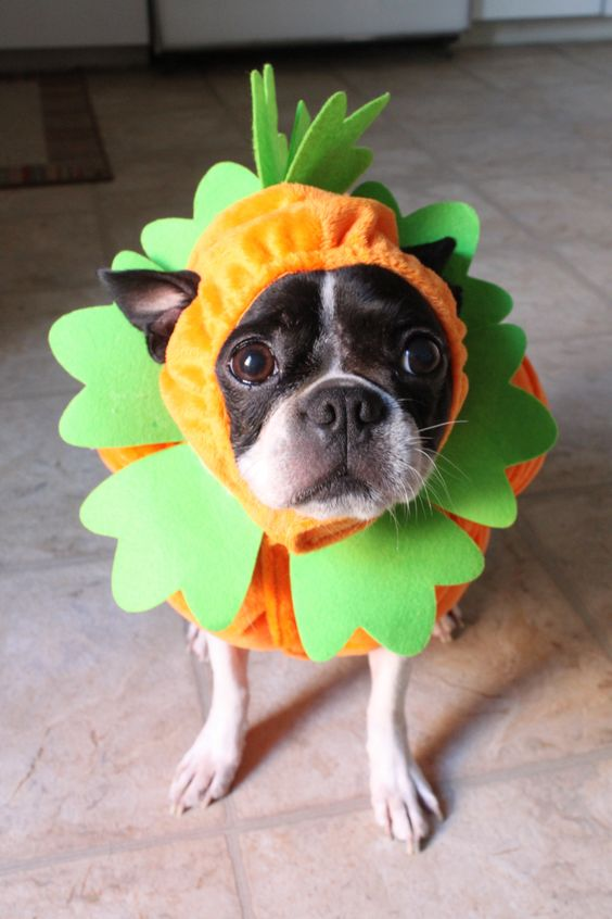 boston-terrier-halloween-costume-pumpkin