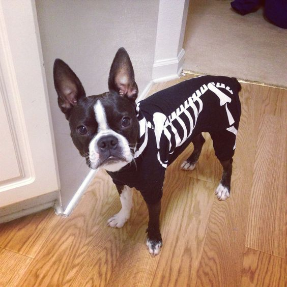 boston-terrier-halloween-costume-skeleton