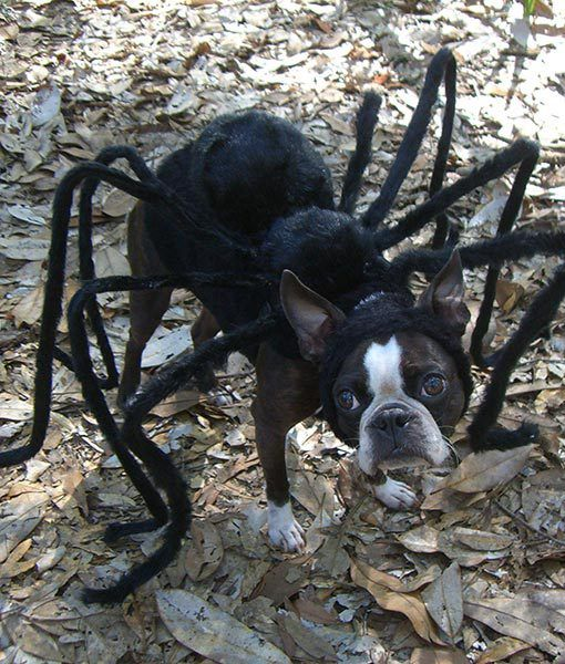 boston-terrier-halloween-costume-spider